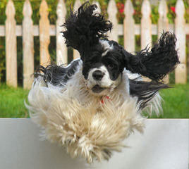 Cocker Spaniel Puppies in Tennessee - Dog and Puppy Pictures