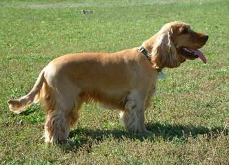 Breeders Of Cocker Spaniel Puppies & Cockapoo Puppies - Dog Breeders