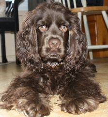 Black Pure Cocker Spaniel - Dog and Puppy Pictures