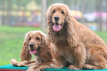 TSUNAMI Cocker Spaniels - Dog Breeders