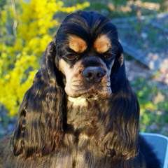 Cockers And Golden Retrievers-Health Guaranteed! - Dog Breeders