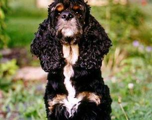 Akc Cocker Spaniels - Dog Breeders