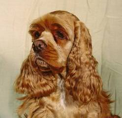 Attala County Cockapoos American Cocker Spaniel - Dog Breeders