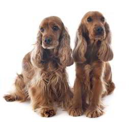 Cocker Puppies - Dog Breeders