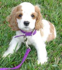 Cocker Spaniel Puppies Ohio - Dog Breeders