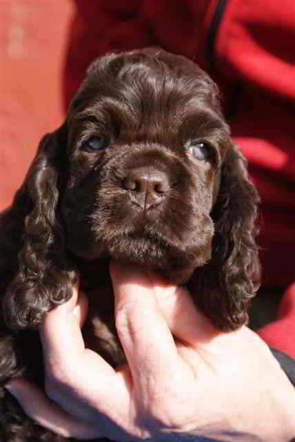 10 Wks Pure Breed Cocker Spaniel - Dog Breeders
