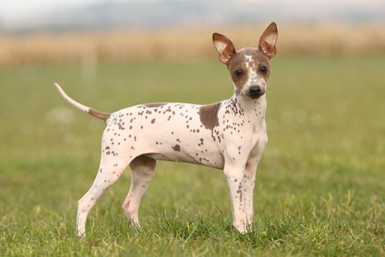 American Hairless Terrier Dogs and Puppies