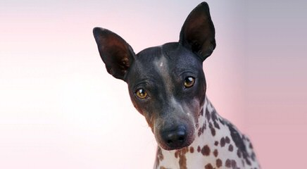 American Hairless Terriers in Illinois - Dog Breeders