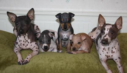 Bridge American Hairless Terriers - Dog Breeders