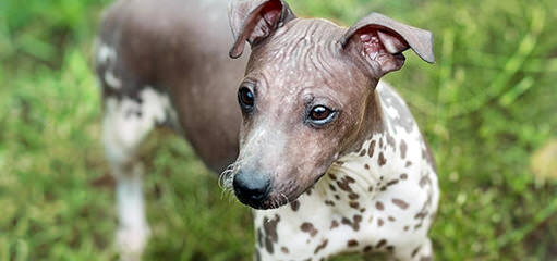 Breeders Of Chinese Crested Puppies & American Hairless Terrier Puppies - Dog Breeders