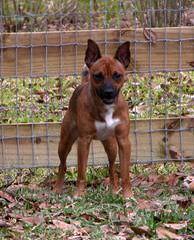American Hairless Terrier - Dog Breeders