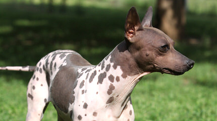 American Hairless Terriers In Canada - Dog Breeders