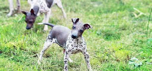 Bridge American Hairless Terriers - Dog and Puppy Pictures