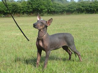American Hairless Terriers Puppy - Dog Breeders