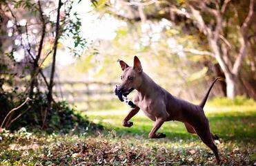 American Hairless Terrier in Arizona - Dog Breeders