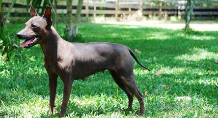 American Hairless In S.C. - Dog Breeders