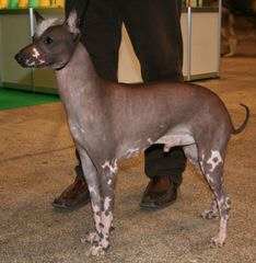 Bridge American Hairless Terriers - Dog Breeders