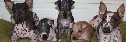 American Hairless Terrier in Arizona - Dog Breeders