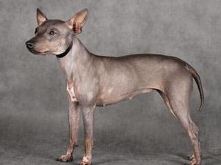 Americanhairless - Dog Breeders