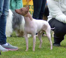 American Hairless Terriers In Canada - Dog Breeders