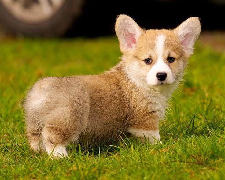 Augi Dogs and Puppies