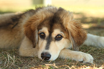 Augi Pups Corgi X Mini Aussie - Dog Breeders