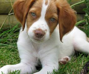 Augi Welsh Corgi Toy Australian Shepard Cross - Dog Breeders