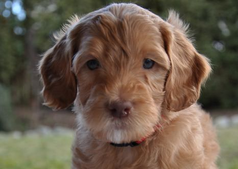Australian Labradoodle Dogs and Puppies