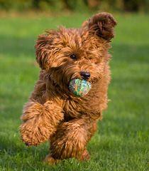 Connecticut Labradoodles - Dog Breeders