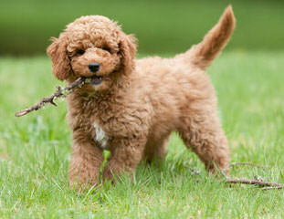 Pine Lodge Labradoodles - Dog Breeders