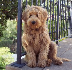 Sun Valley Labradoodles - Dog Breeders