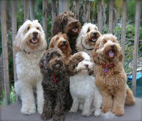 Over The Moon Labradoodles - Dog Breeders