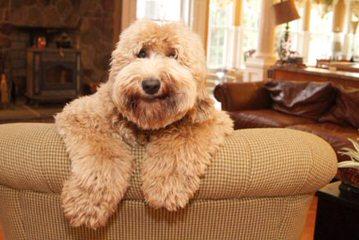 Avonlee Australian Labradoodles - Dog Breeders