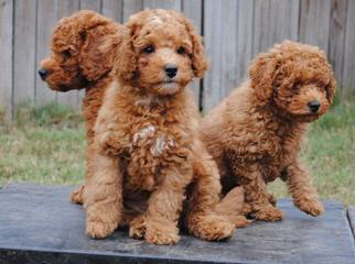 Australian Labradoodles Puppies By Adhonays, F1b, Australian, Medium, Mini And Standard, Creme/ - Dog Breeders