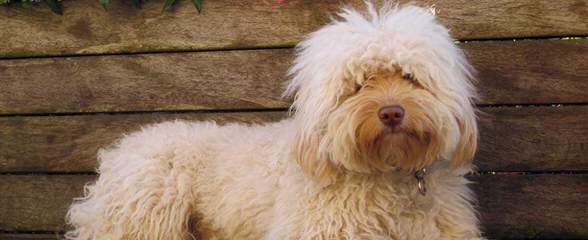 FernRidge Labradoodles - Dog Breeders
