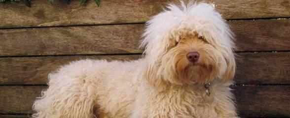 Manor Lake Australian Labradoodles – Miniature, Medium And Standard Sizes - Dog Breeders