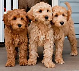 Avonlee Australian Labradoodles - Dog and Puppy Pictures