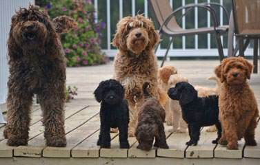 Log Cabin Labradoodles - Dog Breeders