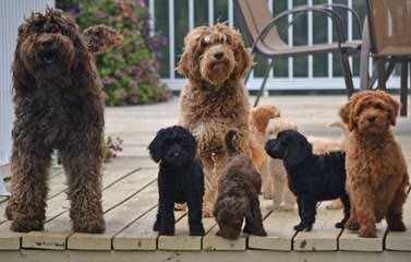 Hills West Labradoodles - Dog Breeders