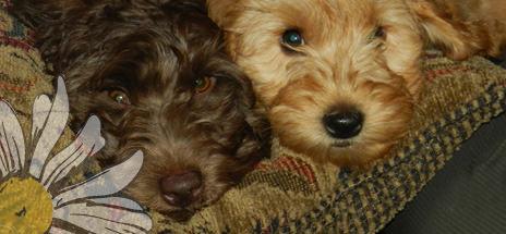 Leapfrog Labradoodles - Dog Breeders