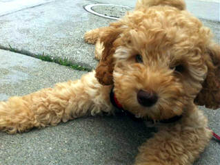 Hunterberry Hill Labradoodles - Dog and Puppy Pictures
