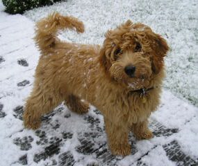 Ashford Manor Labradoodles - Dog Breeders