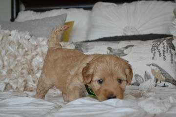 Over The Moon Australian Labradoodles - Dog and Puppy Pictures
