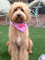 Canyon Court Labradoodles - Dog Breeders