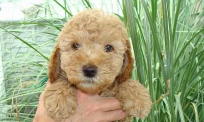 Lake Keowee Labradoodles - Dog and Puppy Pictures