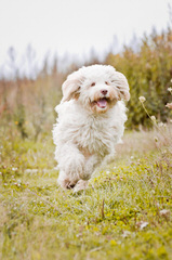 Ladd Hill Labradoodle - Dog Breeders