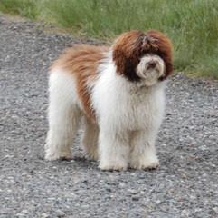 Log Cabin Labradoodles - Dog Breeders
