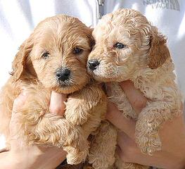 Sun Valley Labradoodles - Dog and Puppy Pictures