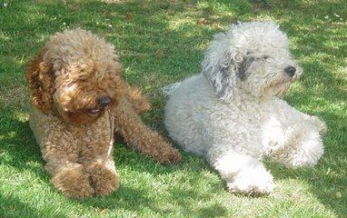 Desert Winds Labradoodles - Dog Breeders