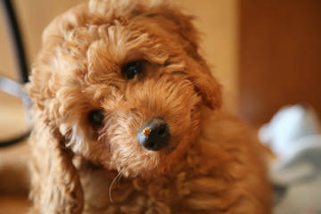 Country Club Labradoodles - Dog and Puppy Pictures
